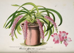 Aerides rosea orchid species botanical illustration.